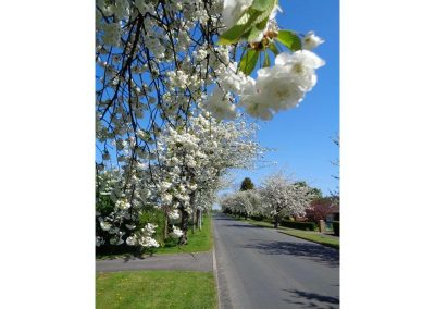 Blossom overhanging the road